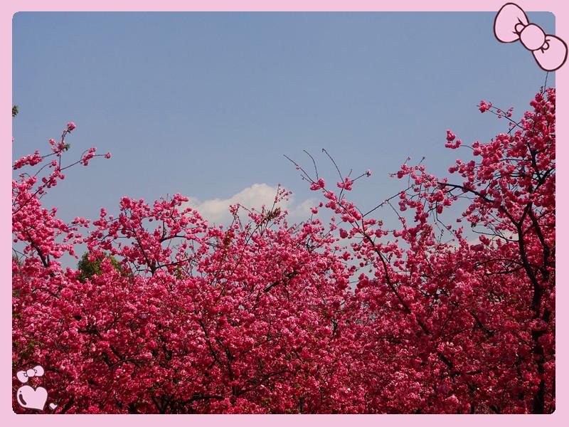 昆明动物园赏樱花